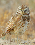 Owl Burrowing D-045.jpg