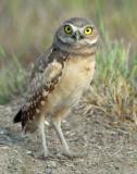 Owl Burrowing D-036.jpg