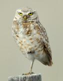 Owl Burrowing D-041.jpg