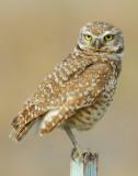 Owl Burrowing D-053.jpg