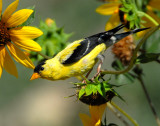 Goldfinch, American #2
