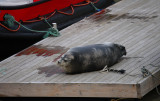 Bearded Seal OZ9W8460