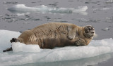 Bearded Seal OZ9W8538