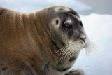 Bearded Seal OZ9W8542