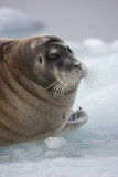 Bearded Seal OZ9W8548