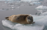Bearded Seal OZ9W8552