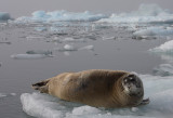 Bearded Seal OZ9W8553