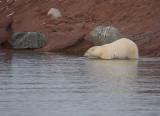 Polar Bear going in OZ9W1395
