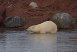 Polar Bear going in OZ9W1396