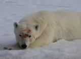 Polar Bear male alert OZ9W2445