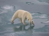 Polar Bear large cub OZ9W3366