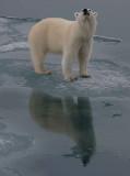 Polar Bear large cub OZ9W3369