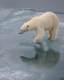 Polar Bear female OZ9W3375