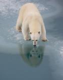 Polar Bear large cub 2