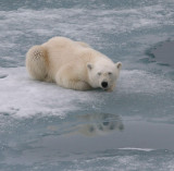 Polar Bear large cub OZ9W3398