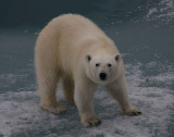 Polar Bear female OZ9W3425