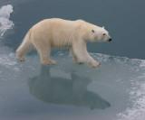 Polar Bear female OZ9W3430