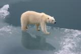 Polar Bear female OZ9W3431