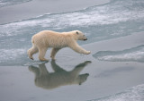 Polar Bear large cub OZ9W3454