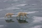 Polar Bear female with large cub