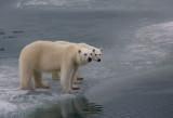 Polar Bear female with large cub OZ9W3473