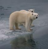 Polar Bear female with large cub OZ9W3475