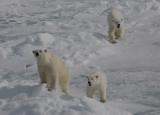 Polar Bear female with 2 large cubs OZ9W8550