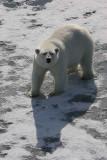 Polar Bear well-fed on ice OZ9W1839