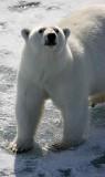 Polar Bear well-fed on ice OZ9W1842
