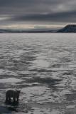 Polar Bear well-fed on ice