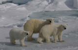 Polar Bear female with 2 large cubs OZ9W8616