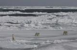 Polar Bear female with 2 large cubs OZ9W8651