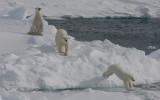 Polar Bear female with 2 large cubs OZ9W8708a