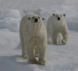 Polar Bear female with large female cub OZ9W8721a