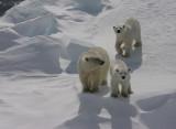 Polar Bear female with 2 large cubs OZ9W8830
