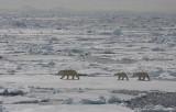 Polar Bear female with 2 large cubs OZ9W8876