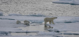 Polar Bear female with 3 first-year cubs OZ9W9089