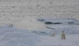 Polar Bear female with 3 first-year cubs OZ9W9107