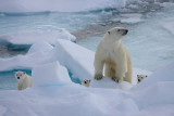 Polar Bear female with 3 first-year cubs 1