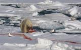 Polar Bear young male with kill OZ9W9551
