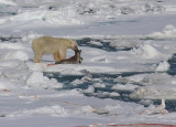 Polar Bear young male with kill 1