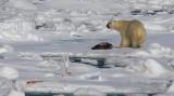 Polar Bear young male with kill OZ9W9613