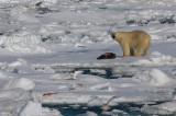 Polar Bear young male with kill OZ9W9617