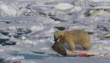 Polar Bear young male with kill OZ9W9692
