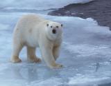 Polar Bear female on ice
