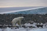 Polar Bear thin OZ9W0517