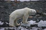 Polar Bear thin