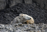 Polar Bear female with first-year cub hungry