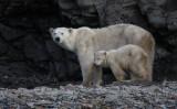 Polar Bear female with first-year cub hungry OZ9W1303a