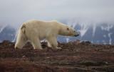 Polar Bear on red soil
